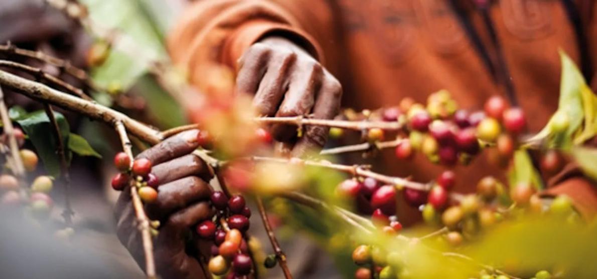 Java Coffee slaat groene weg in